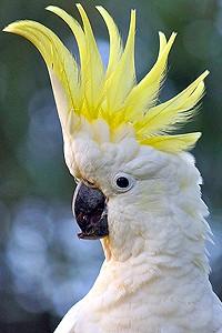 cockatoo_head_shot